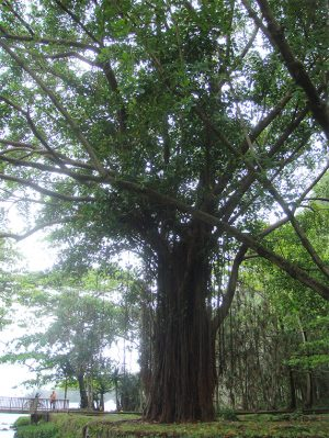 arbre-geobiologie